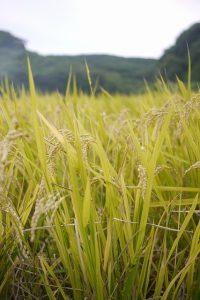 稲刈りと脱穀