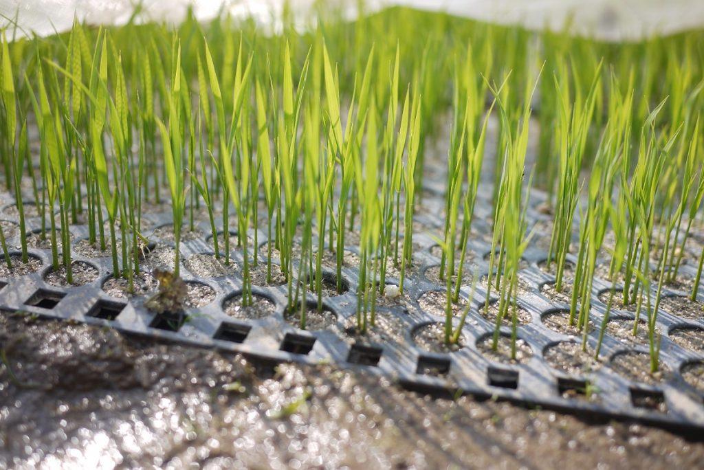 生きているお米の苗