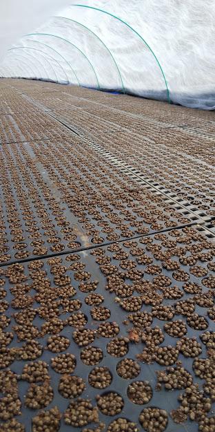 ヒノ黒米種まき